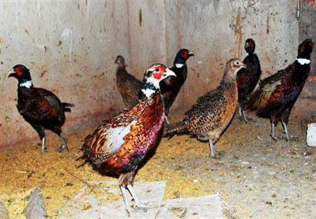 bán trứng chim trĩ và chim trĩ giống tại hà nội